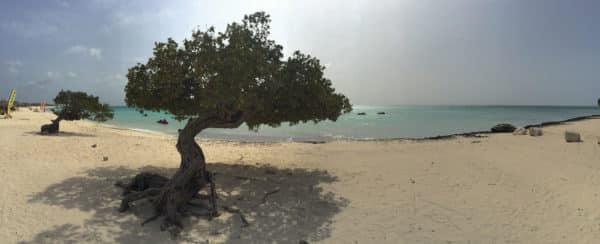 The famous Divi tree of Aruba
