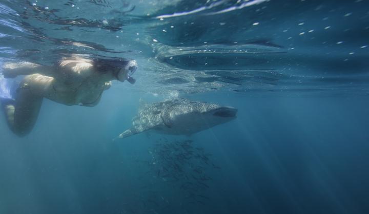 Snorkeling with whale sharks (Credit: La Paz Tourism)