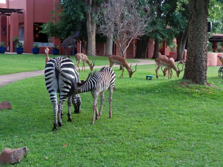 Zebra on the hotel grounds