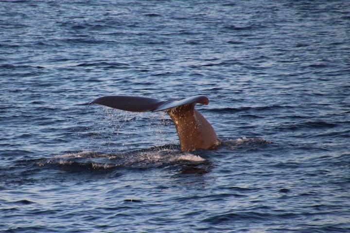 Sperm whale near Bleik