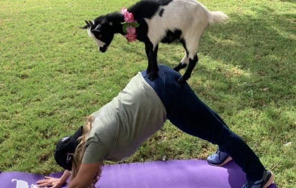 I love goat yoga!